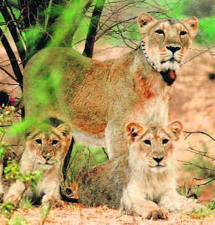 Remove illegal structures in lion reserve, HC tells Gujarat Govt