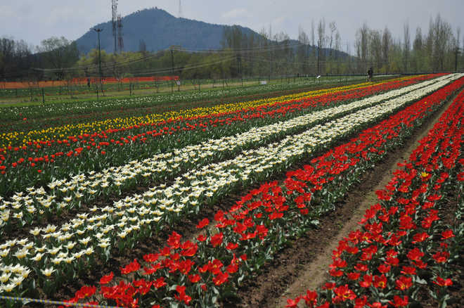 asias largest tulip garden opens up for visitors - Large Garden 2015