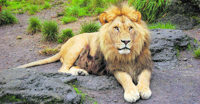 Let Asiatic Lion roar to its glory