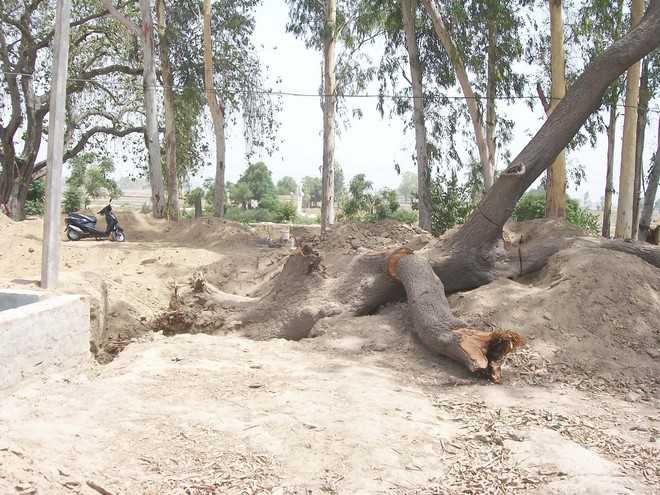400 trees axed for raising PUDA colony in Fazilka