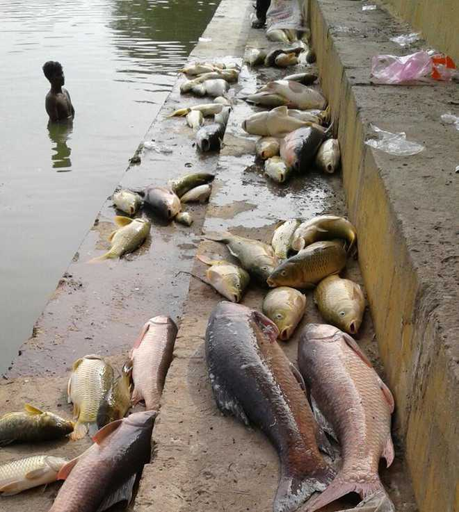 Scores of dead fish surface at holy pond of shrine