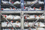SC notice on cruelty to hens in coops