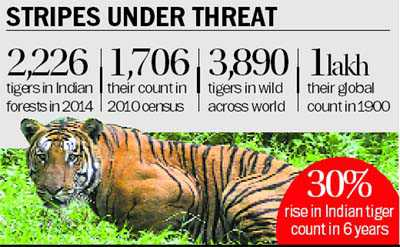 Count up, but tigers still unsafe