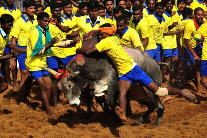SC rejects plea for judgment on Jallikattu before Pongal