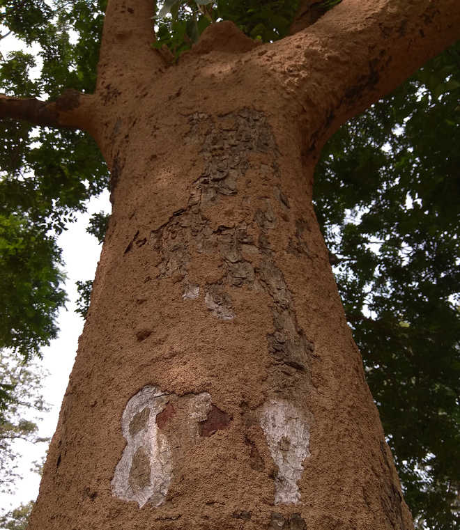 City's termite-hit trees get new lease of life