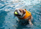 Bobo, a British Bulldog, plays in the 'Bone Pool' at The Wagington luxury pet hotel in Singapore, December 6. Reuters