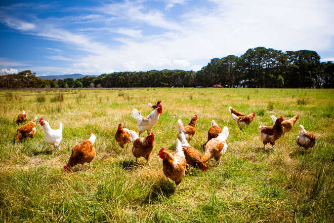 Egg-free surrogate chickens produced to save rare breeds'