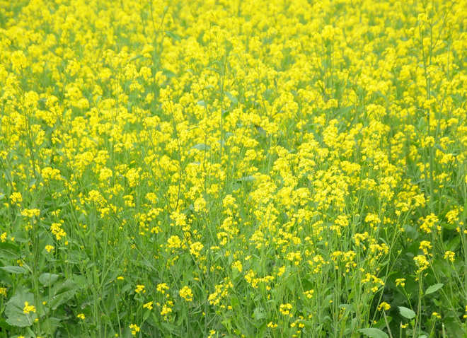 Farmers expect bumper mustard crop this year