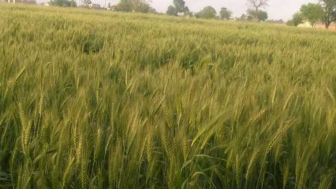 Rain forecast gives jitters to farmers