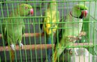 Injured parakeets kept in a cage as they recover in the Indian camera technician and parakeet enthusiast Joseph Sekar's house in Chennai. AFP