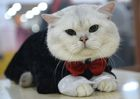 A British Shorthair wearing a costume is pictured during the International cat exhibition in Bishkek on March 19, 2017. AFP photo