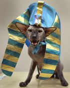 An Oriental Shorthair cat, wearing a Sphinx costume, is pictured during the International cat exhibition in Bishkek on March 19, 2017. AFP photo