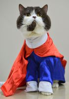 A British Shorthair, wearing a Supermans costume, is pictured during the International cat exhibition in Bishkek on March 19, 2017. AFP photo