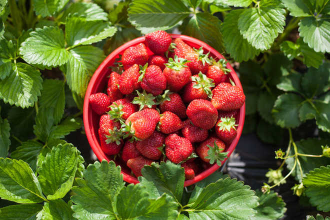 Strawberries may help fight breast cancer