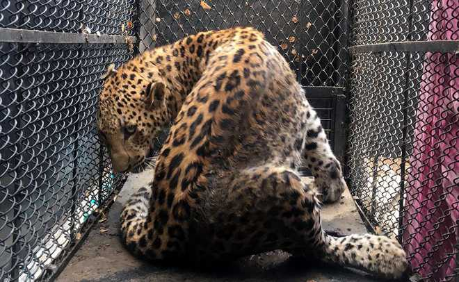Leopard injures two in Gurugram colony