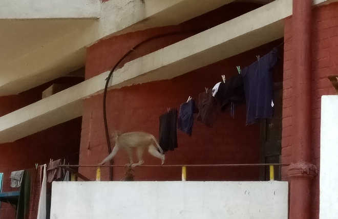 At PU, marauding monkeys have a field day