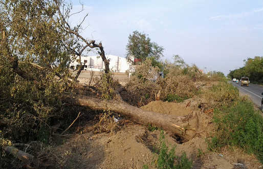 20,000 trees being axed along Ropar-Phagwara highway
