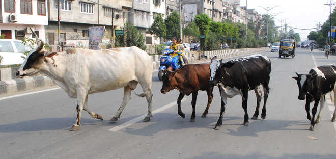 No end in sight to stray cattle menace in city