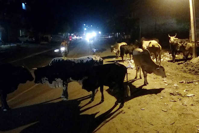 Stray cattle cause 2 more accidents