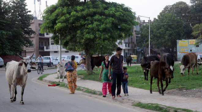 Stray cattle have a free run, authorities mum
