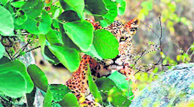 Higher relief to wildlife attack victims on cards