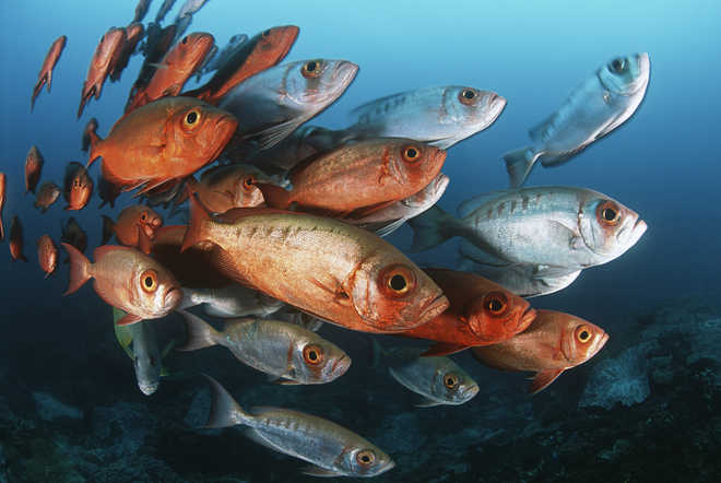 How an all-female fish species evades extinction