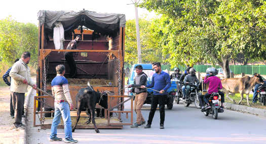 MC liable to keep P'kula stray cattle-free: HC