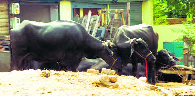 Project to shift dairies in limbo