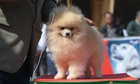 A Pomeranian at a dog show in Chandigarh on February 10, 2018. Tribune Photo: Ravi Kumar