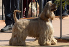 An Afghan Hound at a dog show in Chandigarh on February 10, 2018. Tribune Photo: Ravi Kumar
