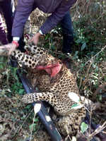 Two leopards fall prey to poachers; FIR registered