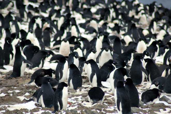 Supercolony of more than 1.5 million penguins discovered