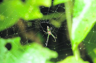 Male spiders gift silk-wrapped food to woo mates
