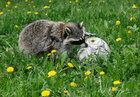 Maya, a one-year-old female raccoon, plays with a ball during the 'Football Day' event, organised by zoo employees to mark the upcoming 2018 FIFA World Cup, at the Royev Ruchey zoo in the Siberian city of Krasnoyarsk, Russia, on June 5, 2018. Reuters