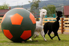 Female alpaca Juliette (L) and male aplaca Romeo run near a giant ball during the 'Football Day' event, organised by zoo employees to mark the upcoming 2018 FIFA World Cup, at the Royev Ruchey zoo in the Siberian city of Krasnoyarsk, Russia, on June 5, 2018. Reuters