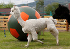 Female alpaca Juliette (L) and male aplaca Romeo walk near a giant ball during the 'Football Day' event, organised by zoo employees to mark the upcoming 2018 FIFA World Cup, at the Royev Ruchey zoo in the Siberian city of Krasnoyarsk, Russia, on June 5, 2018. Reuters photo