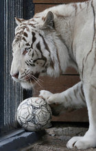 Khan, a seven-year-old male White Bengal tiger, plays with a ball during the 'Football Day' event, organized by zoo employees to mark the upcoming 2018 FIFA World Cup, at the Royev Ruchey zoo in the Siberian city of Krasnoyarsk, Russia, on June 5, 2018. Reuters photo