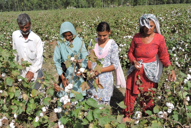 Jind's cotton fields show how war on whitefly can be won