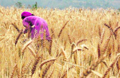 Insurance scheme for wheat, barley to continue
