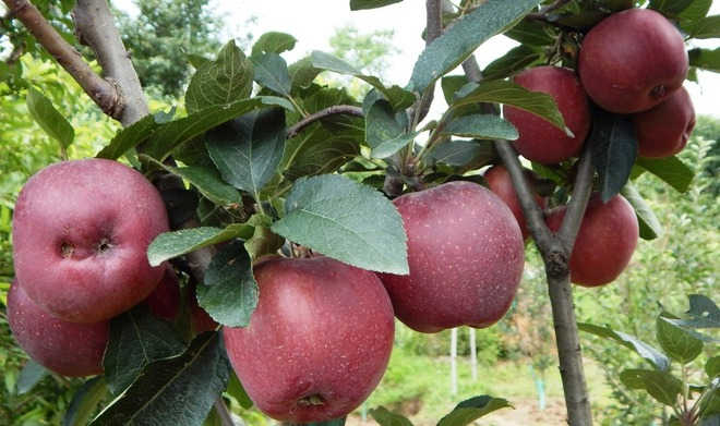 Himachal's apple crop, power projects face threat: Study