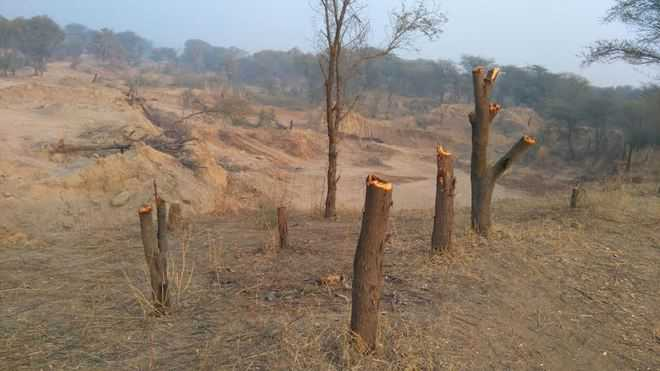 Felling of trees sets alarm bells ringing for Forest dept