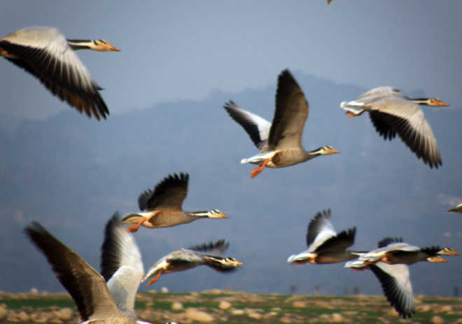 71,000 bar-headed geese still staying in Pong wetland