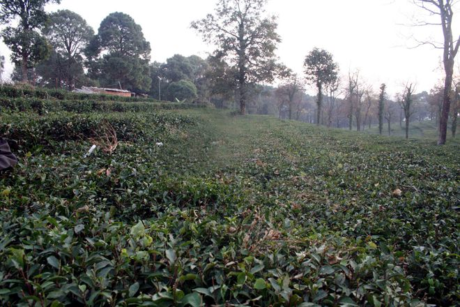 Kangra tea to get Europeon GI tag soon