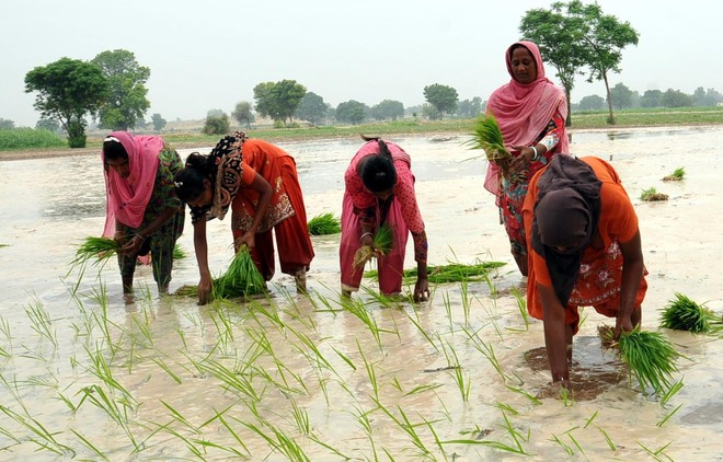 Women, children forced to transplant paddy owing to labour shortage