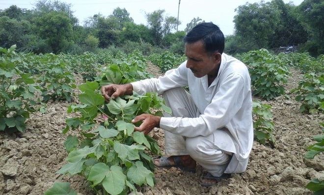 White fly attack: Bhiwani farmers worried over losses to cotton crop