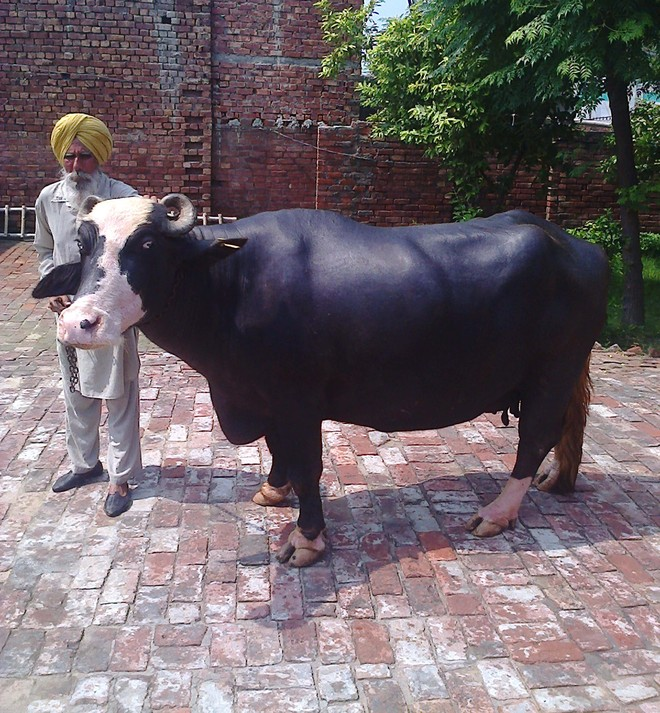 Project Nili Ravi To Preserve Indigenous Breed Of