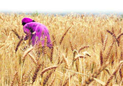 Warm winter threatens to lower wheat yield by 5-7 pc