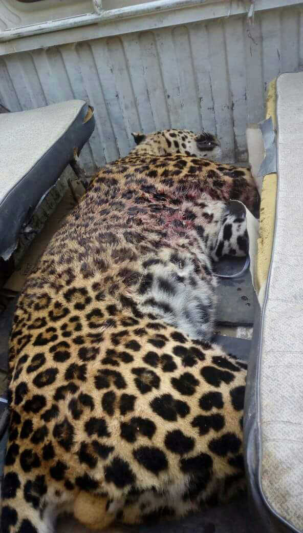Leopard shot in Bilaspur turns out to be a record breaker