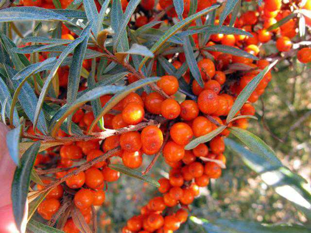 Big leap in sea buckthorn demand to benefit farmers