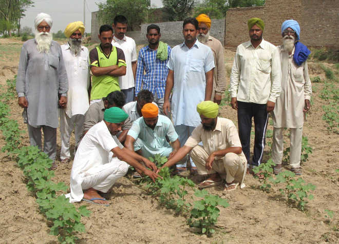 Tubewell sop offshoot: Farmers choose paddy over cotton